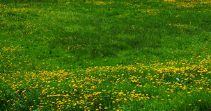 Lawn With Dandelions Royalty Free Stock Image