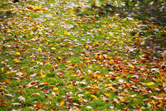 Lawn with yellow leaves Royalty Free Stock Photo