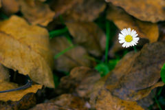 Lawndaisy and Dead Leaves. Lawndaisy (Bellis Perennis) and some dead autumn leaves on the ground stock photos