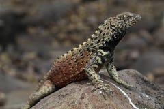 Lawowa jaszczurka na Galapagos obraz royalty free