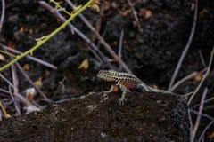 Lawowy jaszczurki Tropidurus sp w Galapagos wysp Isabela wyspie zdjęcie stock