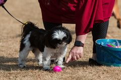 Pet Owner And Dog Participate In Dog Easter Egg Hunt royalty free stock images