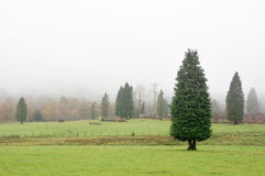 Lawson cypress forest. On foggy day Stock Photography