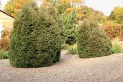 Lawson Cypress tree (Ellwoods Pillar) in the garden. Lawson Cypress tree (Ellwoods Pillar) in the autumn garden Stock Images
