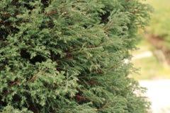 Lawson Cypress tree (Ellwoods Pillar) in the garden. Lawson Cypress tree in the garden, close-up Stock Photos