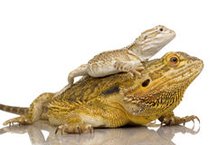 Lawson's dragon - Pogona henrylawsoni Royalty Free Stock Photography