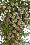 Lawsoniana de chamaecyparis Images stock