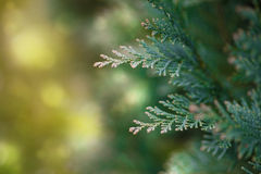 Lawsons Cypress, evergreen conifer, close up Stock Image