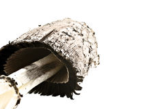 Lawyer's Wig (Coprinus comatus). Stock Image