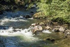 Laxar i den Ketchikan liten vikfloden Arkivfoto