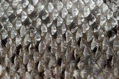 Laxen skalar textur Royaltyfri Bild