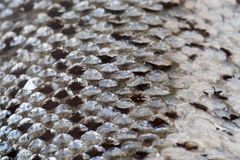 Laxen skalar textur Royaltyfria Foton