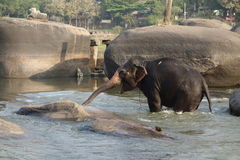 Laxmi the elephant of Hindu temple with river Royalty Free Stock Photo