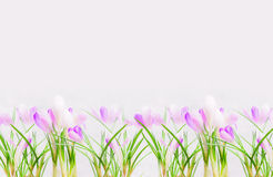 Lay of beautiful purple white crocuses on light background. Royalty Free Stock Photography