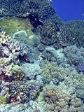 Layang-Layang Coral Reef Stock Photography