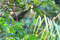 Layard's Parakeet Stock Images