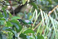 Layard's Parakeet Royalty Free Stock Image