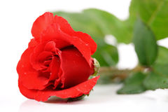 Layed rose Stock Photography