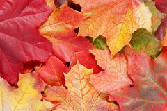 Layer of bright autumn leaves of maple Royalty Free Stock Images