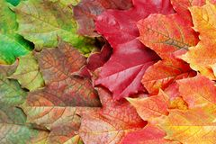 Layer of bright autumn leaves. Layer of bright autumn leafs of maple Stock Images
