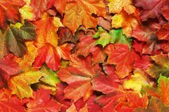 Layer of bright autumn leaves. Of maple Stock Photos