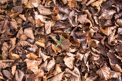 Layer of brown dry leaves Stock Image