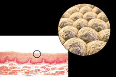 Layer of cells, light micrograph and illustration Royalty Free Stock Photos