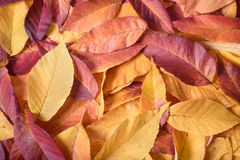 Layer of colorful fall leaves Royalty Free Stock Photo