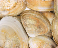 Layer of large clam shells Royalty Free Stock Photo