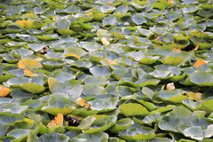 Layer of Lotus Leaves Royalty Free Stock Image