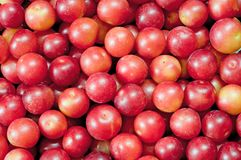 Layer of plums Stock Images