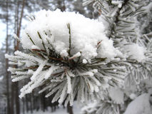 Ayer of a snow on the pine Stock Photos