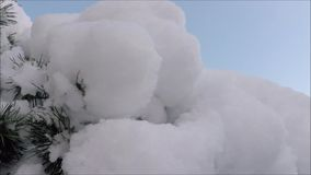 Layer of snow on the fluffy branch of pine stock footage