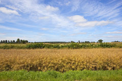 A layered agricultural background with a beautiful summer sky. Golden rapeseed crop with a hedgerow and trees on the horizon under a summer blue sky with wispy Royalty Free Stock Photography