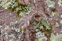 Layered Green Lichens and Mosses on Tree Bark. ~NATURE'S TEXTURES~ Layered Lichens and Mosses on a Textured Tree Bark Background Close Up stock photo