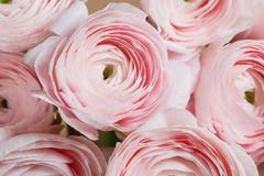 Layered petals like a peony, gradient. beautiful bouquet buttercup close-up. colorful pink air color. Stock Image
