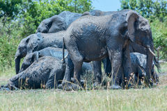 Layers of African Elephants At Mud Bath Stock Images