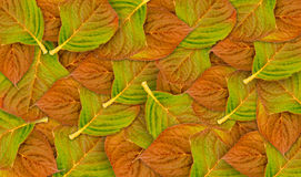 Layers of autumn beech leaves Stock Images
