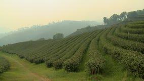 Layers of bushes of a foggy tea plantation farm