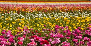 Layers of flowers. Beautiful colorful runnuculus bloom in Northern San Diego County in this colorful springtime image stock photography