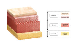 Layers Of Human Skin Stock Photos