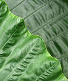 Layers in nature. Leaf displaying the symmetry of nature stock photo