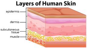 Free Layers Of Human Skin Concept Stock Photo - 123317420