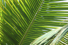 Layers of Palms. The spikes of this palm branch create a wonderful abstract image Royalty Free Stock Images