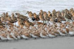 Layers of Shorebirds. Several varieties of shorebirds lined up on the Washington Coast Stock Photo
