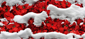 Layers of snow on bright poinsettias. Red poinsettia flowers blanketed by layers of fresh snow royalty free stock photo