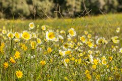 Layia platyglossa野花共同地叫在领域,加利福尼亚的沿海宽舌莱氏菊 免版税库存图片