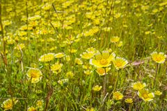 Layia platyglossa野花共同地叫在领域,加利福尼亚的沿海宽舌莱氏菊 免版税库存照片