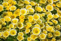 Layia platyglossa野花共同地叫沿海宽舌莱氏菊,开花在太平洋海岸,莫里点,帕西菲卡, 免版税图库摄影