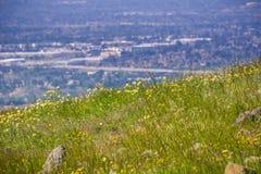 Layia platyglossa野花共同地叫生长在小山的沿海宽舌莱氏菊;被弄脏的镇在背景中,加利福尼亚 免版税库存图片